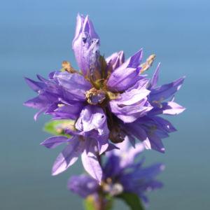 Geknaeuelte Glockenblume Bluete blau Campanula glomerata 01