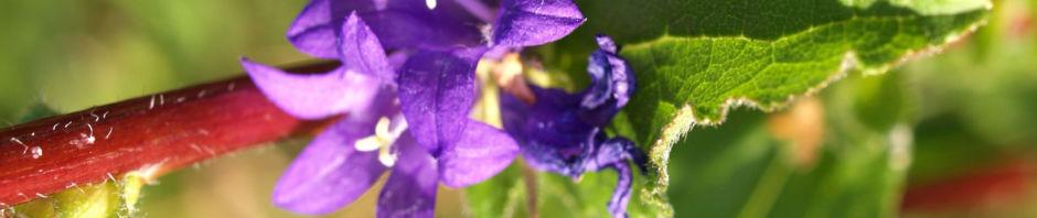 knaeul-glockenblume-bluete-blau-campanula-glomerata