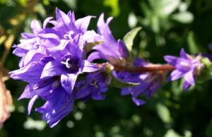Geknaeuelte Glockenblume Bluete blau Campanula glomerata 04