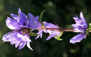 Geknaeuelte Glockenblume Bluete blau Campanula glomerata 10