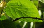 Gelbbluehende Heckenkirsche Blatt gruen Lonicera chrysantha 01