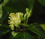 Gelbbluehende Heckenkirsche Bluete gelb Lonicera chrysantha 01