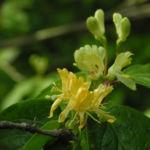 Bild:  Gelbblühende Heckenkirsche Blüte gelb Lonicera chrysantha