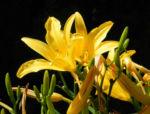 Gelbe Taglilie Bluete gelb Hemerocallis lilioasphodelus 03