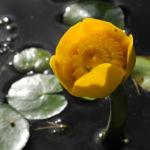 Gelbe Teichrose Bluete gelb Nuphar lutea 02