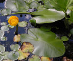 Gelbe Teichrose Bluete gelb Nuphar lutea 08