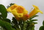 Gelber Trompetenstrauch Bluete gelb Tecoma alata 09