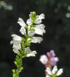 Gelenkblume Bluete weiss rose Physostegia virginiana 09