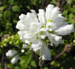 Gelenkblume Bluete weiss rose Physostegia virginiana 16
