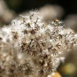 Gemeinder Wasserdost Samen silbrig Eupatorium cannabinum 04