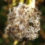 Bild:  Gewöhnlicher Wasserdost Samen silbrig Eupatorium cannabinum