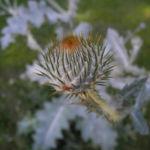 Gemeine Eselsdistel Bluete lila Onopordum acanthium 02