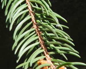 Gemeine Fichte Nadel gruen Picea abies 12