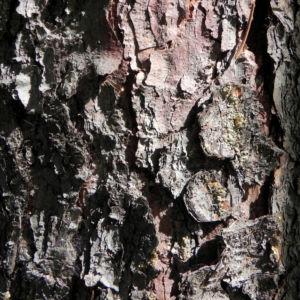 Gemeine Fichte Rinde grau Picea abies 04