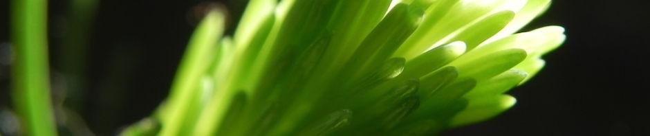 Anklicken um das ganze Bild zu sehen  Gemeine-Fichte Rinde grau Nadeln grün Picea-abies