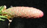 Bild:  Gemeine Fichte Zapfen rötlich Nadel grün Picea abies