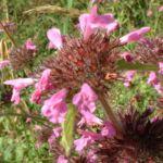 Gemeine Koelme Clinopodium vulgare 01