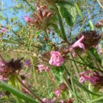Gemeine Koelme Clinopodium vulgare 02