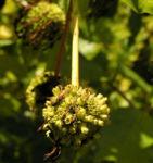 Gemeine Kopfblume Frucht Cephalanthus occidentalis 04
