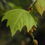 Gemeine Platane Blatt gruen Platanus × hispanica 12