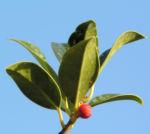 Gemeine Stechpalme Baum Frucht rot Ilex aquifolium 03