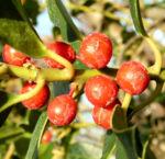 Gemeine Stechpalme Baum Frucht rot Ilex aquifolium 12