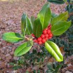 Gemeine Stechpalme Baum Frucht rot Ilex aquifolium 13