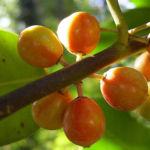 Gemeine Stechpalme Frucht orange Ilex aquifolium 02