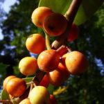 Gemeine Stechpalme Frucht orange Ilex aquifolium 06