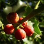 Gemeine Stechpalme Frucht rot Ilex aquifolium 02