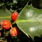 Gemeine Stechpalme Frucht rot Ilex aquifolium 03