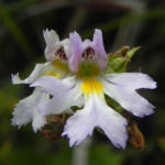 Gemeiner Augentrost Bluete weiss Euphrasia officinalis 02
