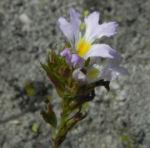Gemeiner Augentrost Bluete weiss Euphrasia officinalis 03