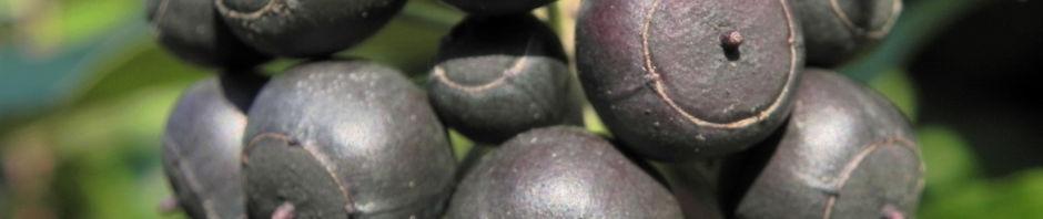 gemeiner-efeu-frucht-schwarz-blau-hedera-helix