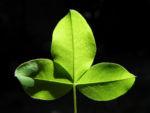 Gemeiner Goldregen Blatt gruen Laburnum anagyroides 04