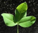 Gemeiner Goldregen Blatt gruen Laburnum anagyroides 06