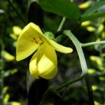 Gemeiner Goldregen Bluete gelb Laburnum anagyroides 05