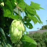 Gemeiner Hopfen Humulus lupulus 00 4