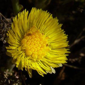 Gemeiner Huflattich Tussilago farfara 06