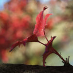 Gemeiner Schneeball Frucht Blatt rot Viburnum opulus 03