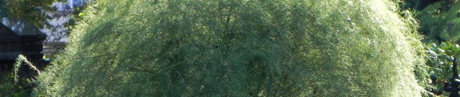 gemuesespargel-gemeiner-spargel-beere-rot-blatt-gruen-asparagus-officinalis