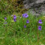 Gemeines Fettkraut Bluete lila Pinguicula vulgaris 09