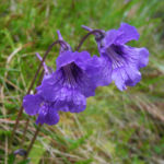 Gemeines Fettkraut Bluete lila Pinguicula vulgaris 10