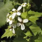 Gemeines Lauchkraut Alliaria petiolata 03