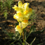 Gemeines Leinkraut Bluete gelb Linaria vulgaris 01