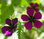 Geranie Bluete schwarz lila Geranium 03