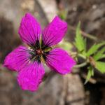 Geranie Bluete schwarz lila Geranium 06