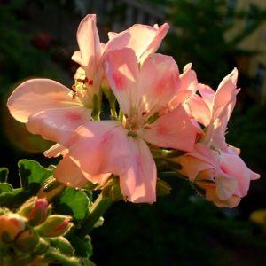 Geranie Blüte rosa Geranium