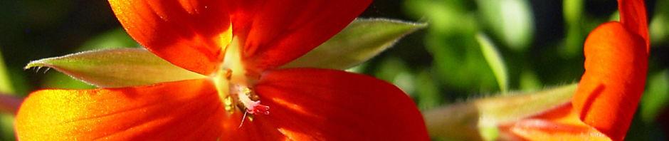 pelargonie-rote-bluete-pelargonium-odoratissimum