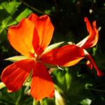 Geranie rote Bluete Pelargonium odorantissimum 04